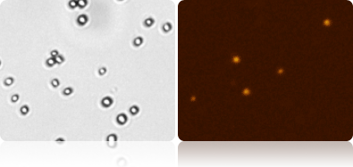 Yeast viability by Propidium Iodide (PI) using Cellometer X2